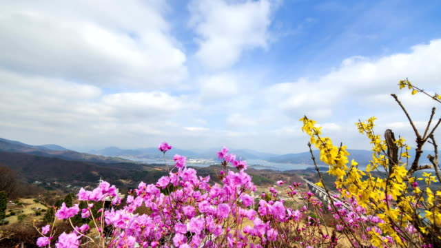 View of Forsythia and Azalea with clear skyscape at Yangsuri (Famous travel destination)