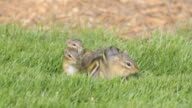WS View of four baby chipmunks (Tamias striatus) and their mother look around in grass directly above their burrow opening / Valparaiso, Indiana, United States