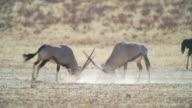 WS View of Gemsboks fighting in savannah / Etosha National Park, Namibia