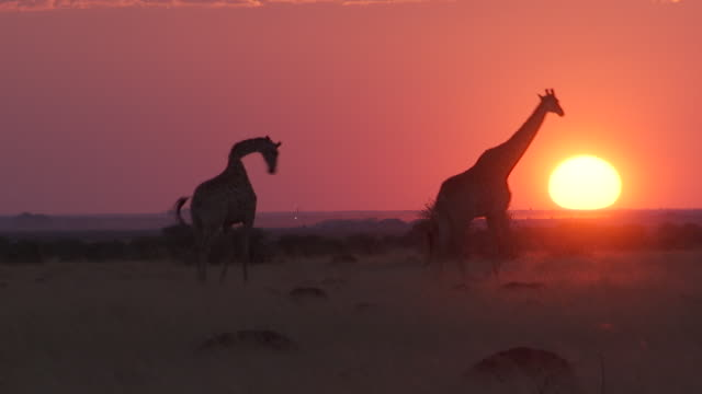WS View of giraffe walking in dry field at sunset / Lindberg, North west, South Africa