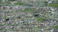 WS AERIAL TS View of goats running through rocky landscape / Karpathos, Dodecanese, Greece