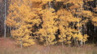 MS view of Golden aspen trees gently lowing in wind / East Glacier, Montana, United States