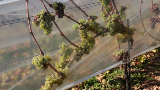 MS View of grapes in vineyard / Rüdesheim, Hesse, Germany