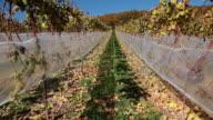 MS View of grapes in vineyard / Rüdesheim, Hesse, Germany