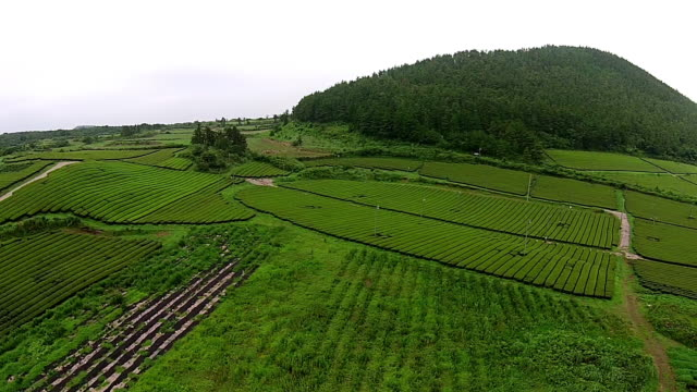 View of green tea field