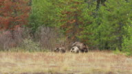 WS TS View of grizzly sow with three spring cubs grubbing along river bank / Tetons, Wyoming, United States