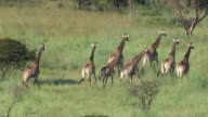 MS AERIAL View of group of giraffes / Nelspruit, Mpumalanga, South Africa