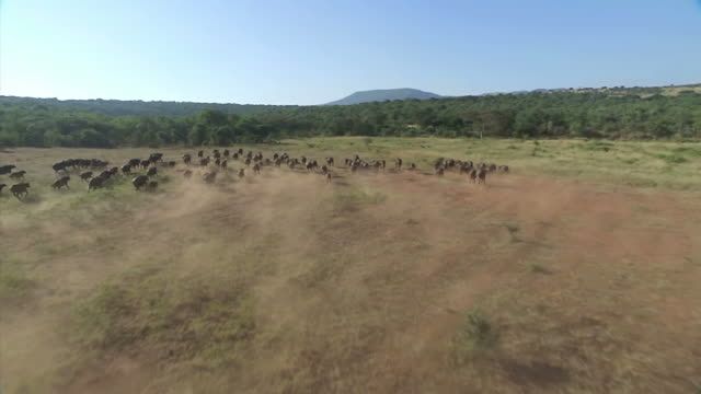 WS AERIAL  SLO MO View of herd of buffalo running across landscape / Kwazulu Natal, South Africa