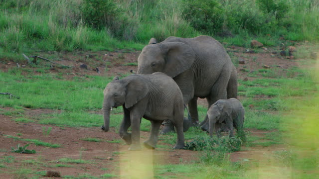 WS TS R/F View of herd of Elephant walking to the water hole / Pilanesberg, Gauteng, South Africa