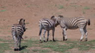 WS SLO MO PAN View of Herd of Zebra in the heat of the day / Pilanesberg, Gauteng, South Africa