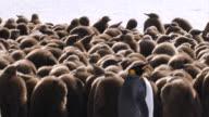 WS View of King Penguin chicks / South Georgia Island , Sub-Antarctic Region , British Territory, Antarctica