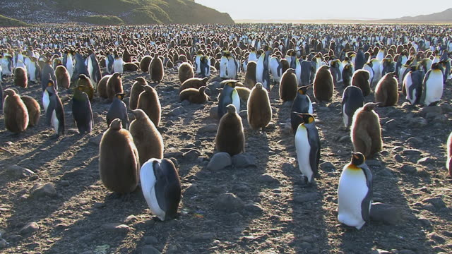 WS View of King Penguin (Aptenodytes patagonicus) colony in sunset / Iceland