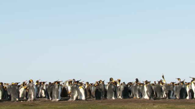 WS View of King Penguins Aptenodytes patagonicus group / Volunteer Point, Falkland Islands
