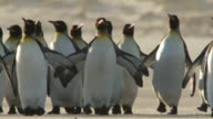 WS View of King Penguins Aptenodytes patagonicus walking on beach / Volunteer Point, Falkland Islands