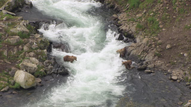 WS AERIAL ZI View of Kodiak brown bears standing in water of Dog Salmon Creek with jumping salmon / Alaska, United States