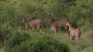 MS View of Kudu Antelope on grassland / South Africa, Africa