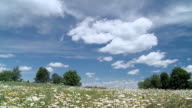 WS T/L View of landscape of daisies on meadow / Tweed, Ontario, Canada