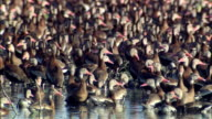 CU View of Large flock of black bellied whistling ducks in wetlands / Palo Verde, Guanacaste, Costa Rica