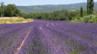 WS View of Lavender Field / St. Remy de Provence, Provence, France