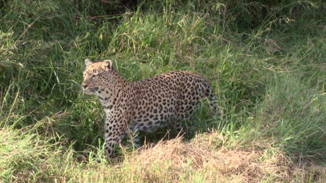 WS TS ZO View of Leopard stalking in dry grass / Kruger National Park, Mpumalanga, South Africa