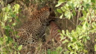 MS View of Leopard strangling nyala foal / Kruger National Park, Mpumalanga, South Africa