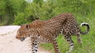 MS PAN View of Leopard walking through long grass / Kruger National Park, Mpumalanga, South Africa