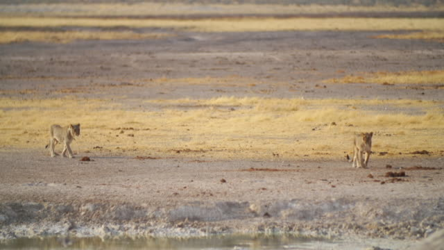 WS PAN View of Lionesses, birds and Springboks in savannah / Etosha National Park, Namibia