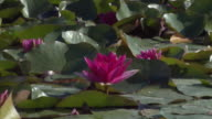 WS ZO View of lotus in botanic garden and green house / Copenhagen, Denmark, Denmark