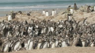 WS PAN View of Magellanic Penguins Spheniscus magellanicus in a group / Volunteer Point, Falkland Islands