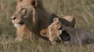 MS PAN View of male and female african lion relaxing on grassland / South Africa, Africa
