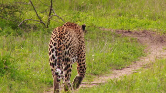 MS TS View of Male leopard turn and walk away / Kruger National Park, Mpumalanga, South Africa