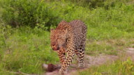 WS ZI View of Male leopard vocalising territory / Kruger National Park, Mpumalanga, South Africa