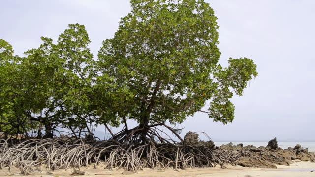 WS View of Mangrove plants at coast, hat chao mai marine national park / Ko Kradan, Trang, Thailand
