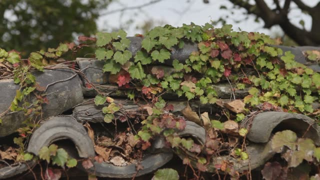 View of maple leaves on the Roof Tile of Giwajip (Korean traditional house) in Samjinae village (known as slow city)