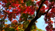 View of maple trees in Gangwon-do province in Autumn