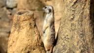 View of meerkat looking around