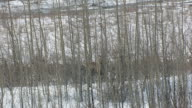 CU AERIAL ZO View of moose standing in trees and terrain / Sutton, Alaska, United States