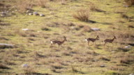 WS HA PAN View of Mountain Gazelles male chasing females / Jerusalem, Judea, Israel