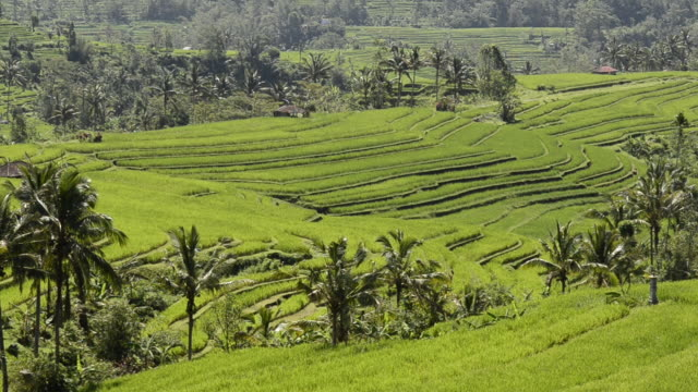WS View of Paddy field and palm trees at Asia / Jatiluwih, Bali, Indonesia
