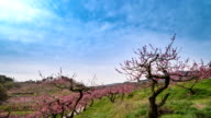 View of peach blossom in Bangokji (one of the popular places for photographers)