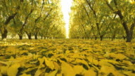WS T/L View of peach trees with fallen leaves in orchard / Cromwell, South Island, New Zealand