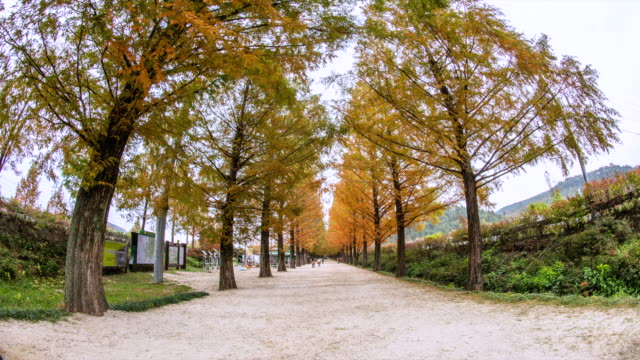 WS T/L View of people enjoying at the Metasequoia road / Damnyang, Jeollanam do, South Korea