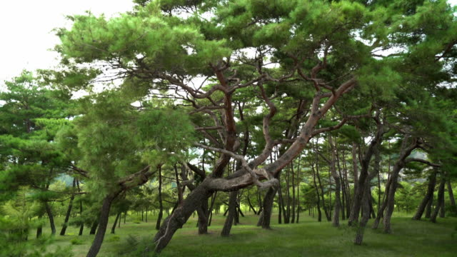 View of Pine Tree Forest at Hahoemaeul Village (Famous travel destination)