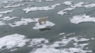 WS View of Polar Bear walking on ice / Svalbard, Spitsbergen, Norway
