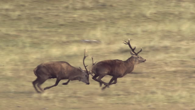 WS SLO MO TS View of Red deer stags Cervus elaphus fighting, one wins / Isle of Rum, Hebrides, Scotland