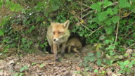 WS View of Red Fox,vulpes, Mother and Cub standing at Den Entrance / Vieux, Pont, Normandy France