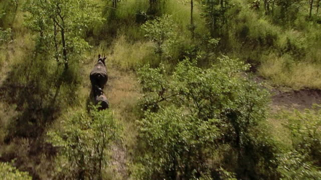 AERIAL WS POV View of rhinos running / Save Valley, Southern Zimbabwe, Zimbabwe
