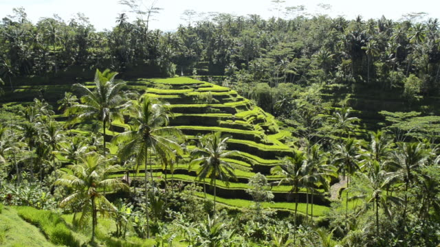 WS View of rice terraces and palm trees / Tegallalang, Bali, Indonesia