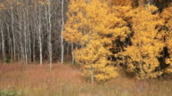 MS PAN View of Right of Golden aspen trees gently lowing in wind / East Glacier, Montana, United States