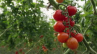 CU View of ripe tomato bunch on vine / Malaga, Spain